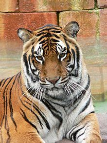 tiger - Wiktionary