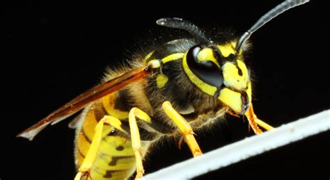 Wasps in Franklin and Wrentham Massachusetts - Colonial