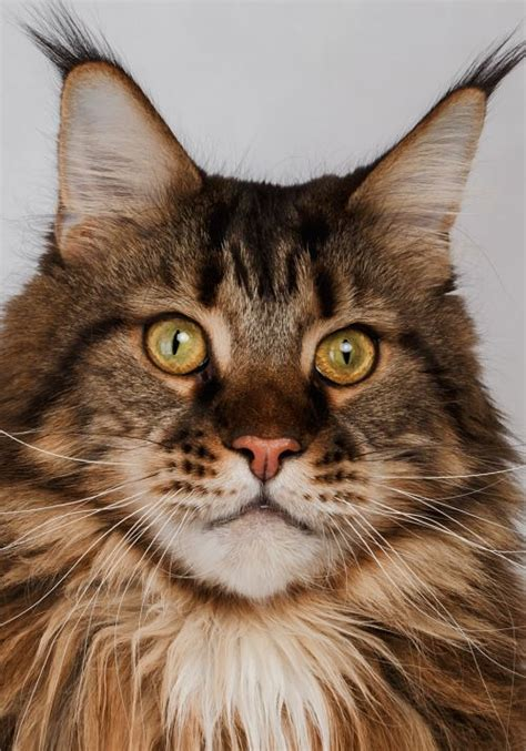 The Maine Coon Cat - Cat Breeds Encyclopedia