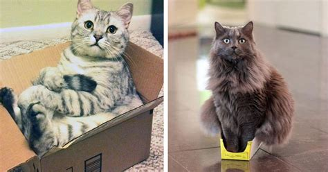 Cats Who Refuse To Accept That Their Boxes Are Too Small